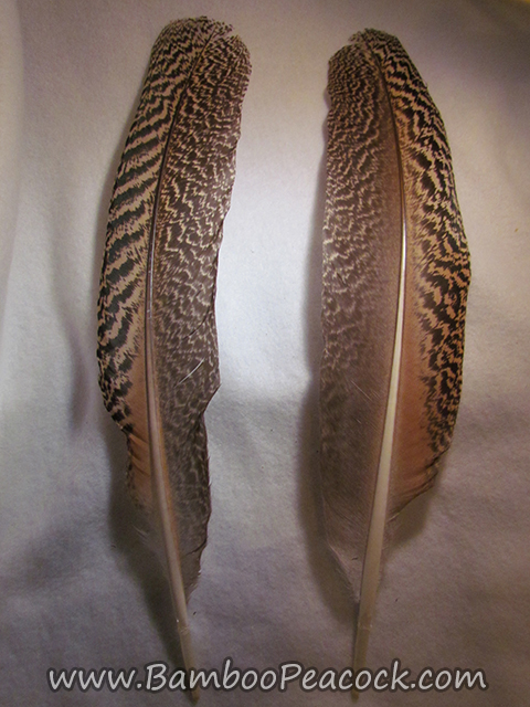 large barred feather