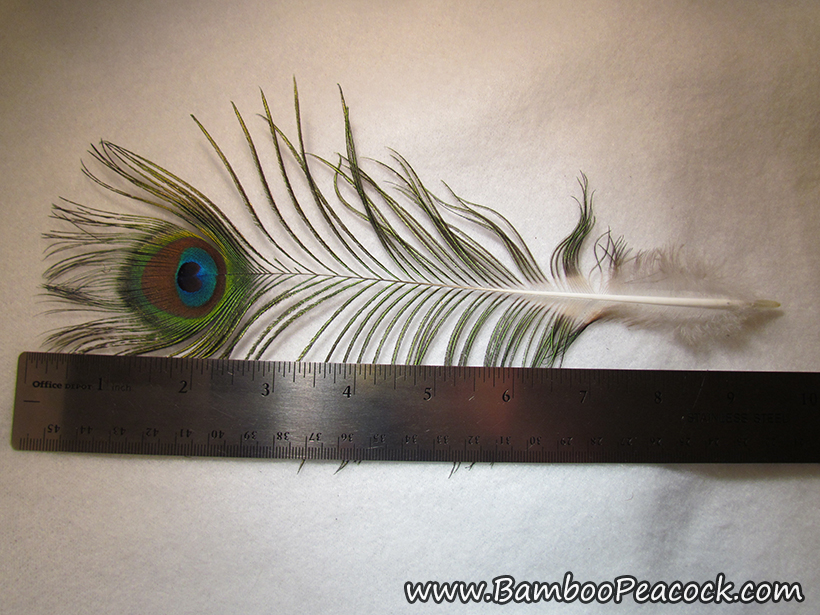 medium eye feather measurement