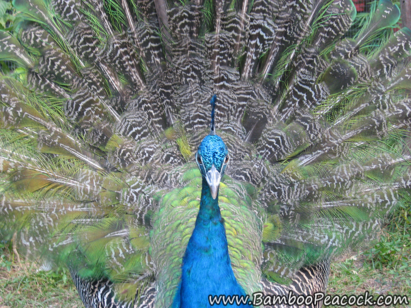 young peacock display