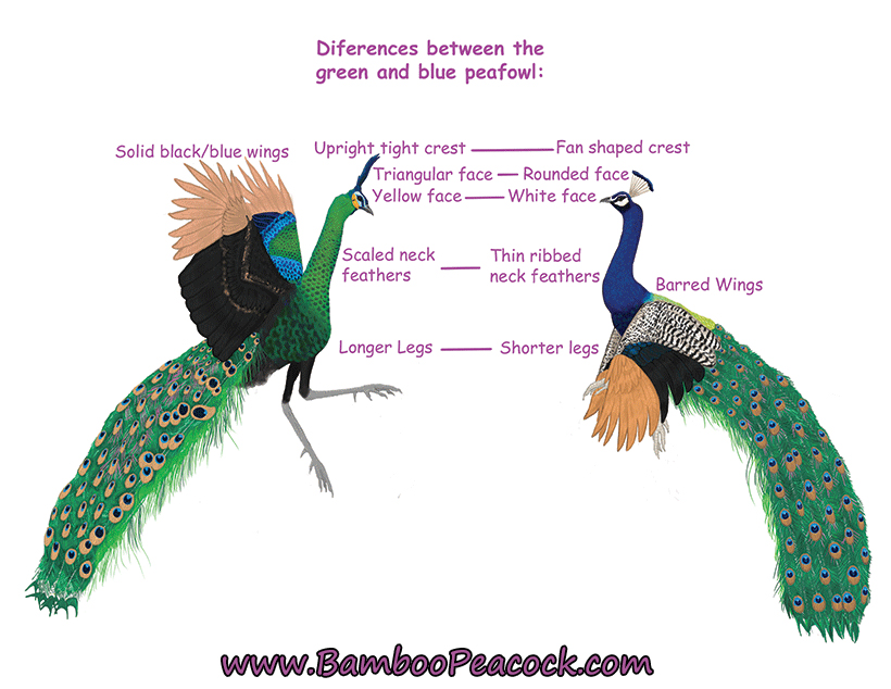 Green Vs Blue peafowl